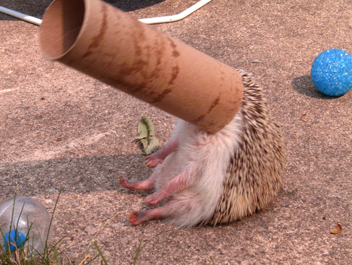 how to give a hedgehog an oatmeal bath