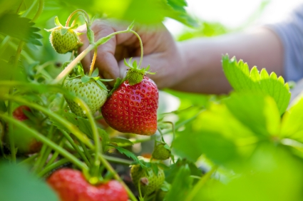 Macro of succulent organic strawberries being hand picked in the vegetable garden.