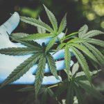 Licensing Cannabis: A Giant Step Forward